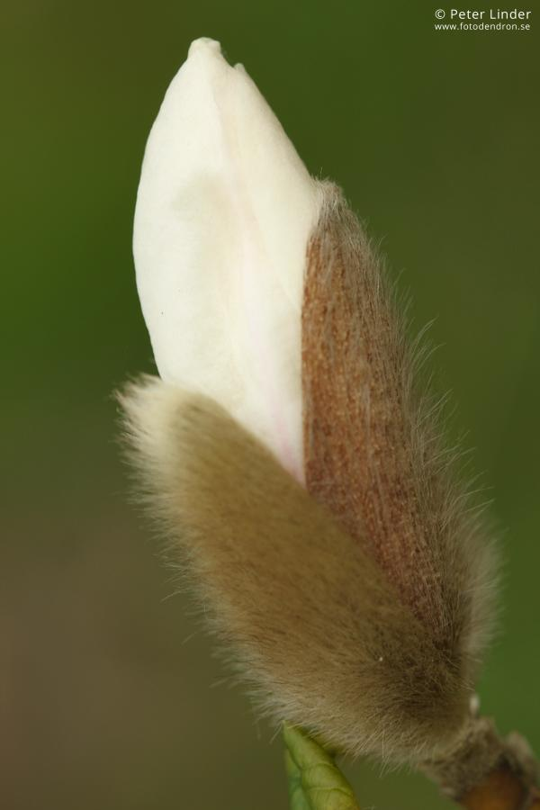 Magnolia_kobus_Li_61481_resize