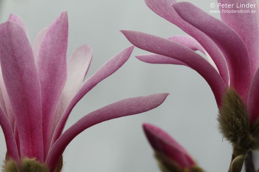 Magnolia_stellata_Rosea_Li_65609_resize