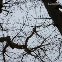Acer_griseum_Li_10589_sharp_resize