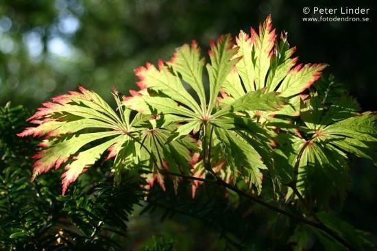 Acer_japonicum_Aconitifolium_Li_17054_resize_sharp