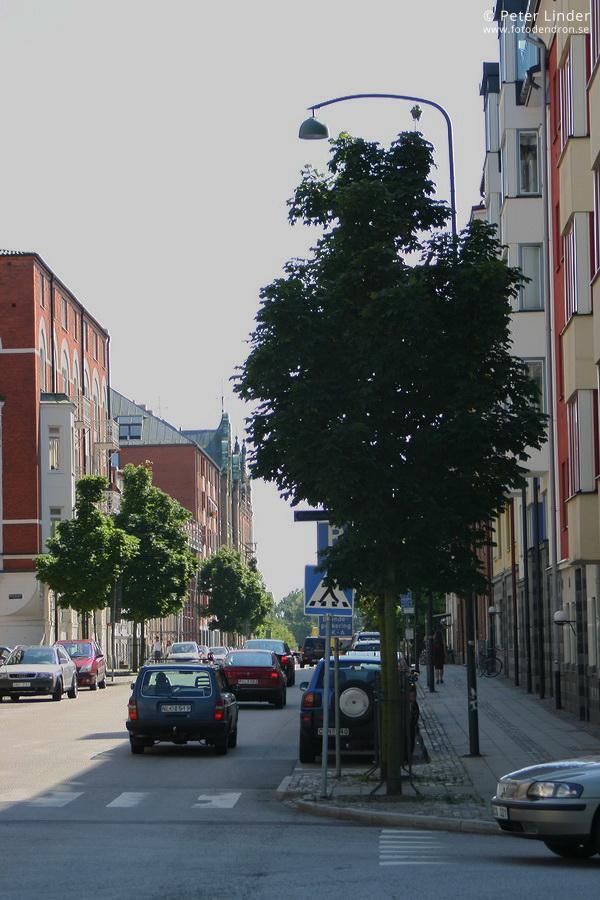 Acer platanoides 'Columnare'