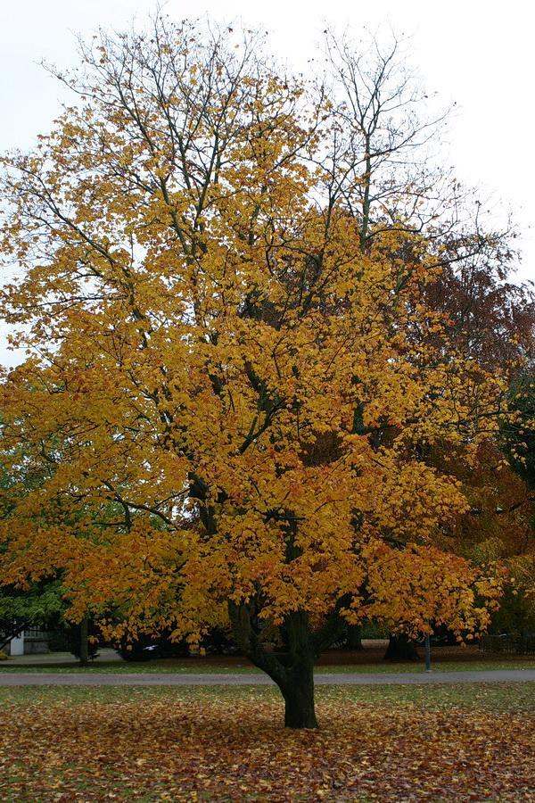 Acer platanoides 'Reitenbachii'