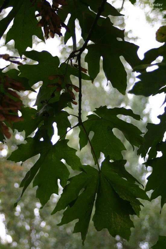 Acer macrophyllum