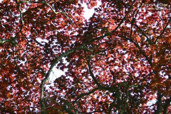 Acer_palmatum_Atropurpureum_Li_13291_resize_sharp