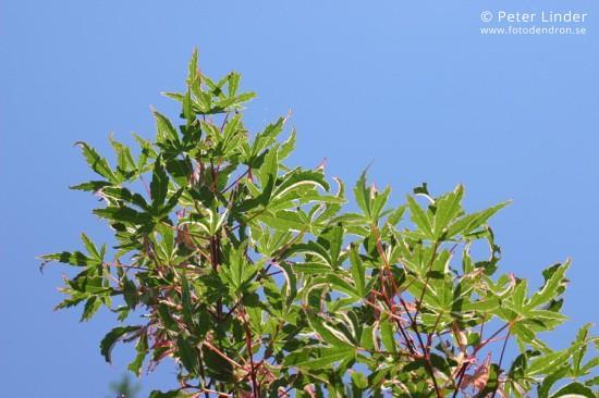 Acer_palmatum_Kagiri-nishiki_Li_14289_resize_sharp