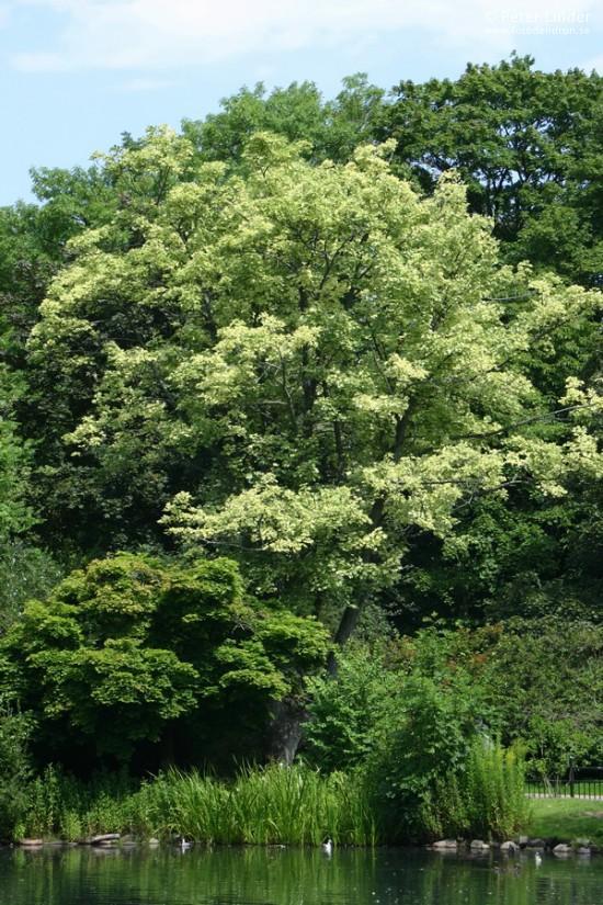 Acer pseudoplatanus 'Drummondi'