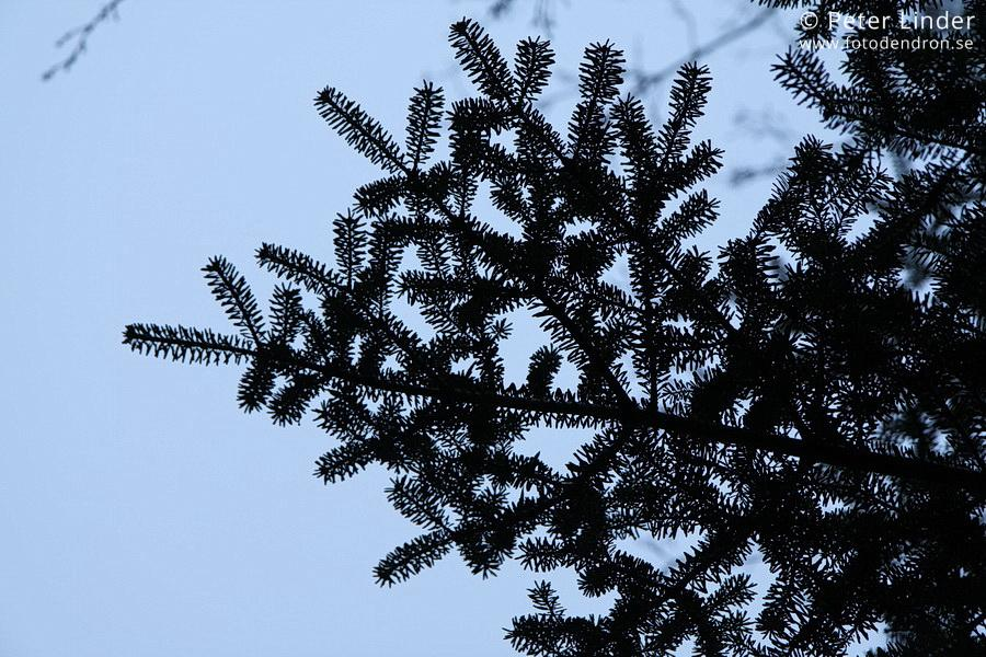Abies_koreana_Li_84664_resize_sharp